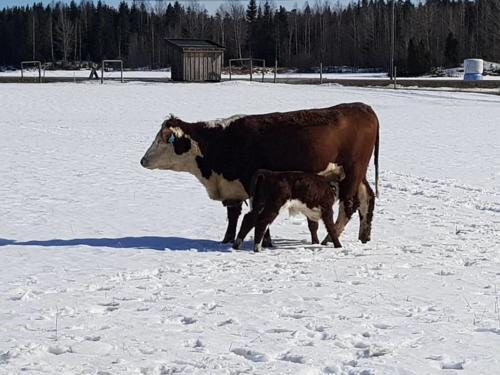 kalv dier snø fange